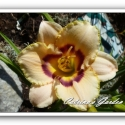 Daylily Dewberry Candy