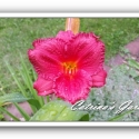 Daylily Little Fat Dazzler