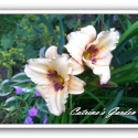 Daylily Raspberry Candy