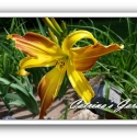 Daylily Spin Dazzle