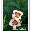 Daylily Wineberry Candy