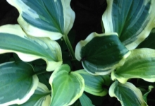 Hosta Resonance
