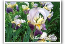 Iris Neglecta