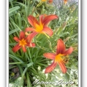 Daylily Flaming Sword