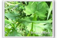 Cup Plant - Silphium perfoliatum