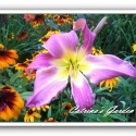 Daylily Lilting Lavender