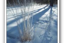 Grass - Calamagrostis Karl Foerster