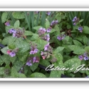 Pulmonaria saccharata—Mrs. Moon