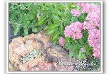 Sedum Telephium – Autumn Joy