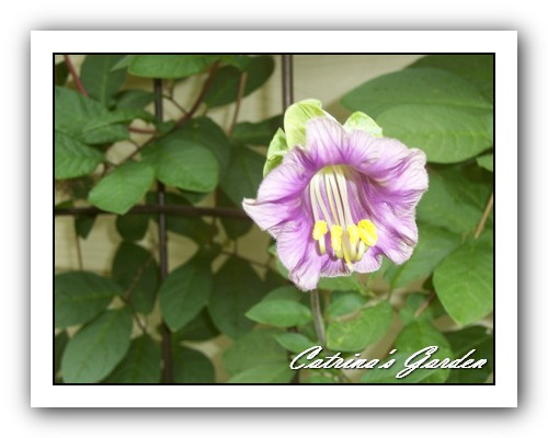 Cup and Saucer vine Cobaea scandens