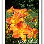 Daylily Bright Sunset
