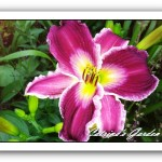 Daylily Indian Giver