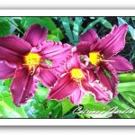 Daylily Licorice Bit