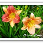 Daylily Little Rusty