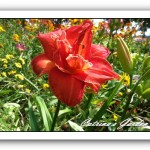 Daylily Moses Fire