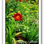 Daylily Red Corvette