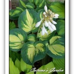 Hosta Great Expectations, with Striptease, Guacamole and Wind River Gold