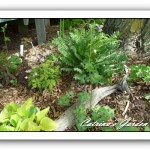 Hosta Platinum tiara, Columbine, Meadow Sweet, Hucherella Strike it rich