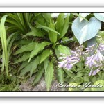 Hosta The Razors Edge, Venusta and Touch of Class
