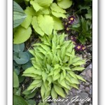 Hosta Wind River Gold, Blue Moon, Twist of Lime, Leather Sheen and primrose