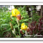 Iris Honorabile
