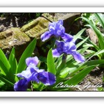 Iris SDB Flower Shower